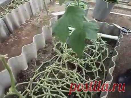 Необычный способ выращивания огурцов в телице