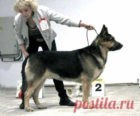 Индивидуальная дрессировка собак. Показ собак на выставке.