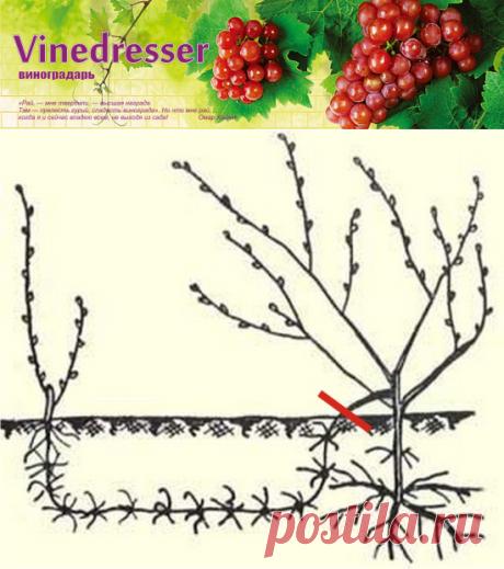 Вегетативное размножение винограда отводками