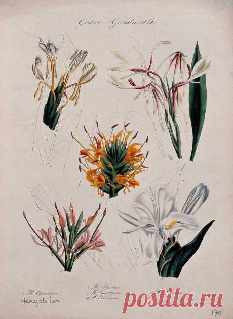 Пять видов имбирной лилии (видов гедихиума): цветущие стебли. Цветная литография.
