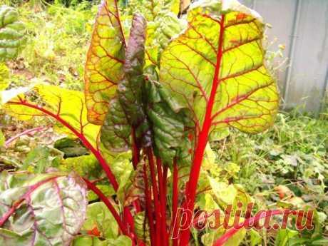 Экзотические овощи и травы, которые растут почти сами по себе. Описание, условия и уход. Фото — Ботаничка.ru