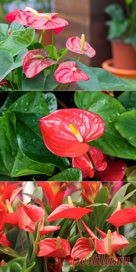 Цветок антуриум — фото ухода в домашних условиях