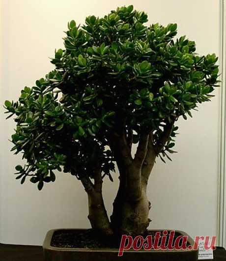 Денежное дерево - Денежное Дерево - Комнатные цветы и растения - Каталог статей - Цветы и растения