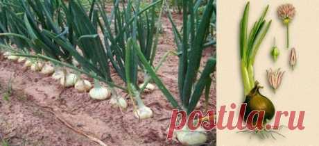 Лук репчатый | Рецепты народной медицины
