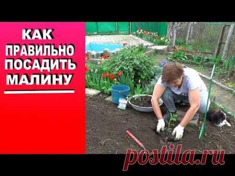 Размножение малины отпрысками  Как правильно посадить малину