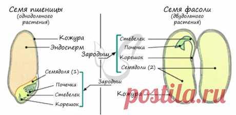 Семя, подготовка к ЕГЭ по биологии