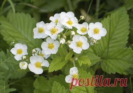 Подкормка клубники во время цветения и плодоношения. Чем подкормить клубнику для хорошего урожая | Огород