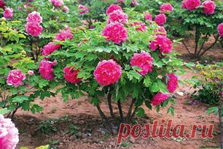 4 подкормки для пиона – шикарное цветение | Цветы в квартире и на даче – от Радзевской Виктории | Яндекс Дзен