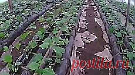 как вырастить огурец первое формирование куста огурца