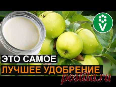 От ЭТОЙ подкормки яблони будут ломиться от урожая! Подкормка яблони дрожжами