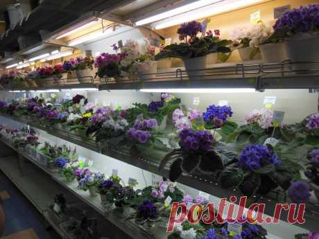 Почему важно знать, как фиалка растет и цветет на подоконнике | Люблю фиалки! | Яндекс Дзен