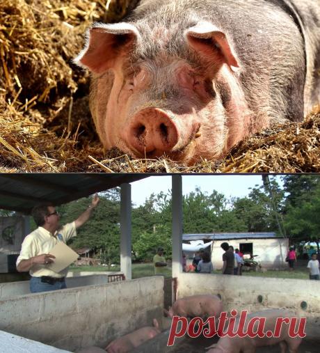 Вьетнам получает биотопливо из навоза свиней, чтобы сократить выбросы углекислого газа - Экологический дайджест FacePla.net
