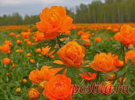 Сибирские полевые розы Елена Подонина ZM любимые огоньки