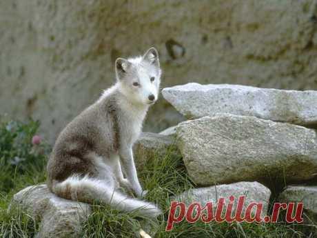 Юный волк