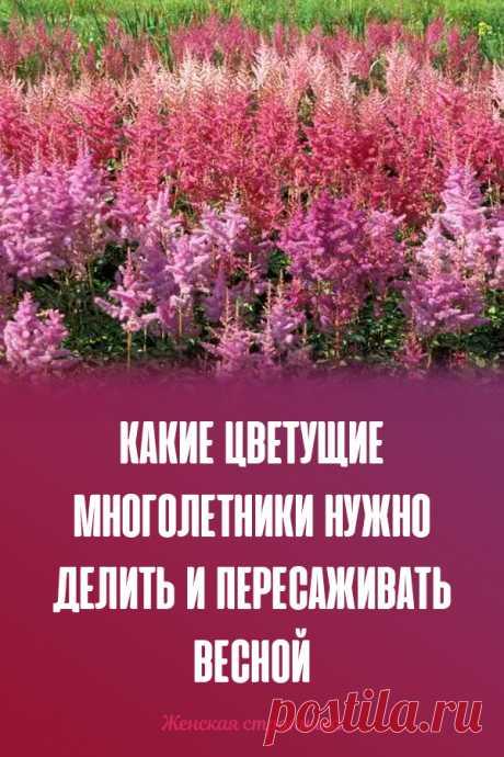 Que que florecen mnogoletniki es necesario dividir y trasplantar en primavera