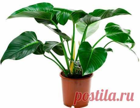 Тенелюбивые комнатные растения названия и фото