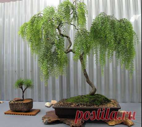 Бонсай дерево - как вырастить в домашних условиях из семян, уход, грунт, видео