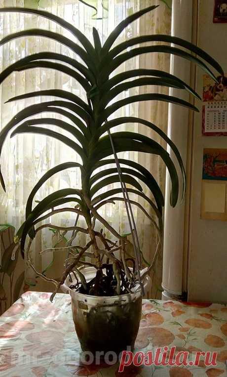 Пересадка орхидеи ванда в домашних условиях - мастер-класс