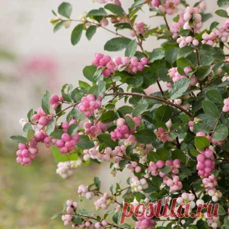Роскошные ожерелья снежноягодников Доренбоза. Посадка, уход, выращивание и сорта.