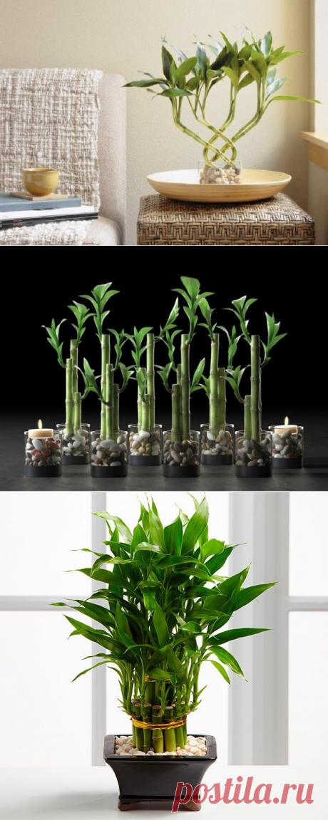 Как выращивать бамбук в домашних условиях: тонкости ухода