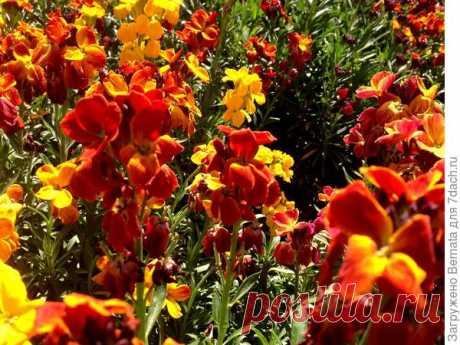 Лакфиоль Bedder: описание, особенности выращивания. Фото