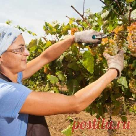 Los consejos juiciosos al novato-viticultor