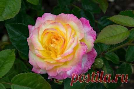 Очень простое и эффективное средство для защиты роз от болезней! Главное – не токсично для человека! | moyasotka | Яндекс Дзен
