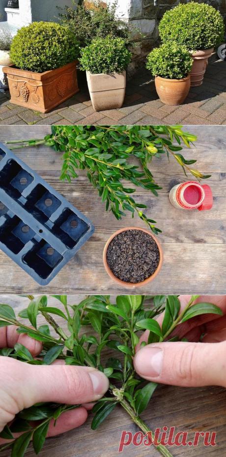Размножение самшита черенками в домашних условиях – пошаговая инструкция