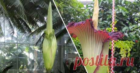В Бельгии расцвел самый большой цветок на планете И НЕ ТОЛЬКО...