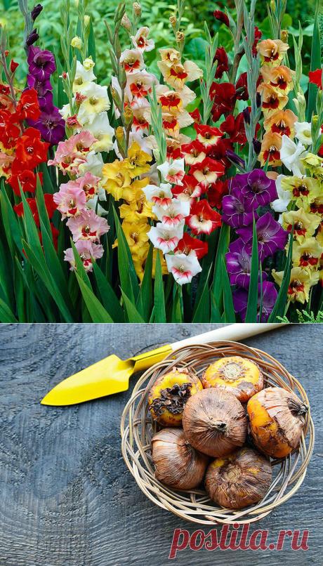 Когда выкапывать и как хранить луковицы гладиолуса? | 6 соток
