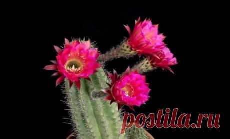 Как расцветают кактусы: цветения кактусов   Интересное видео: захватывающее, всякое