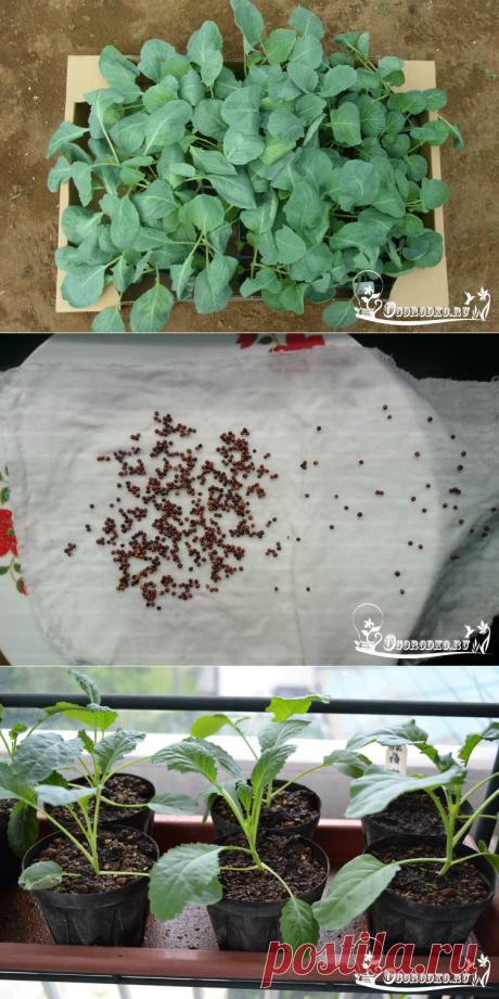 Выращивание рассады капусты - посев семян, сроки посадки, уход , видео