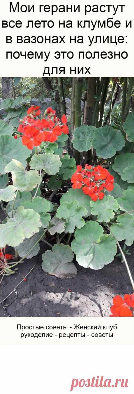 Мои герани растут все лето на клумбе и в вазонах на улице: почему это полезно для них