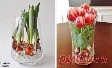Выращиваем тюльпаны дома в любую пору года с помощью стеклянных шариков и воды.
