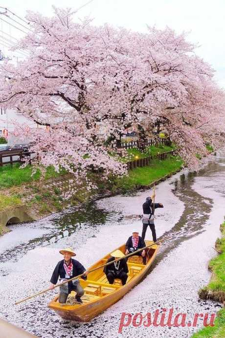 The blossoming Japan