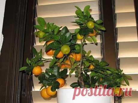 Как вырастить мандарин из косточки в домашних условиях - Экологическое землетворчество | Экологическое землетворчество