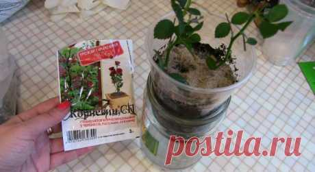 Простое видео о том как укоренить розу с букета или горшка… — Мир Растений