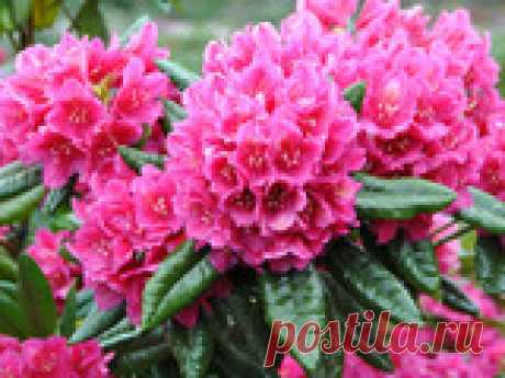 Рододендрон: секреты обильного цветения Рододендрон – прекрасное растение, которое с превеликим удовольствием выращивают многие садоводы. Вот только далеко не всегда этот красавец радует хорошим ростом и обильным цветением. Но это поправимо – если соблюдать несколько несложных правил, о подобных неприятностях можно будет позабыть навсегда! Итак, как же правильно сажать рододендроны и ухаживать за ними, чтобы они неизменно радовали глаз своим обильным цветением?