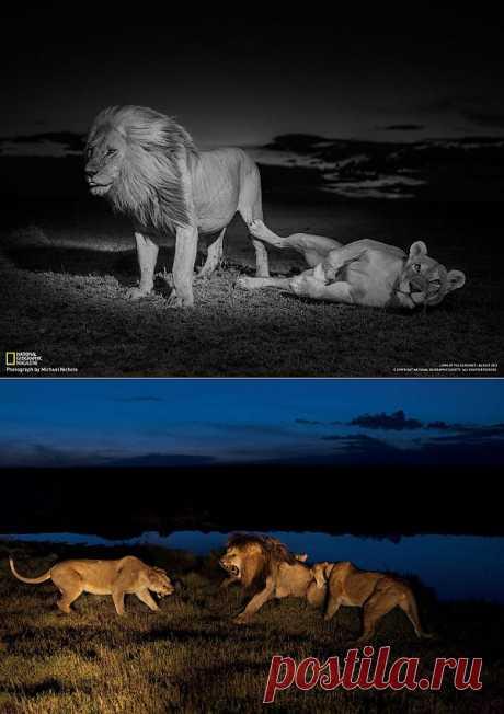 Лицом к лицу со львом : НОВОСТИ В ФОТОГРАФИЯХ