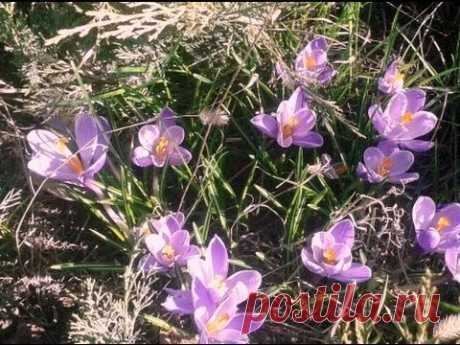 Los tulipanes los crocos sobre la peana de Vygonka