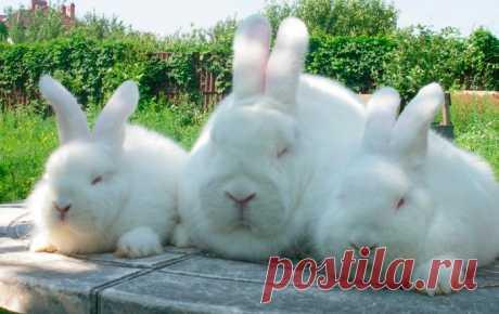 Новозеландский красный и белый кролик: описание и фото пород Кролики новозеландской породы относятся к мясным, так как дают много диетического мяса. Отличаются густой пушистой шерстью; выделяют две разновидности в зависимости от окраса — красная и белая.