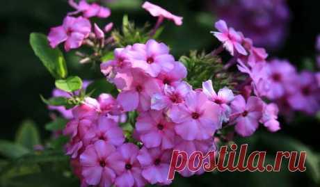 Лучшие подкормки для флоксов | Pentad  Для продолжительного цветения и крепкого здоровья флоксам требуется сбалансированное и грамотное питание. В разное время года применяют определенные подкормки. Рассмотрим, какие препараты используют садоводы и как правильно их нужно вносить.