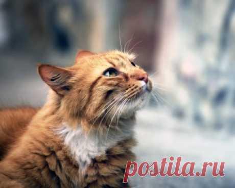 Кимрик - это добрые и игривые кошки, которые с радостью одаривают своей нежностью и любовью.