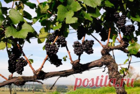 Умный виноградник: формировка иобрезка