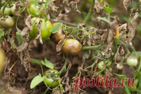 Йодная молочная сыворотка для обработки томатов от фитофторы