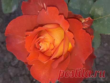 Роза сорт Кофе Брейк