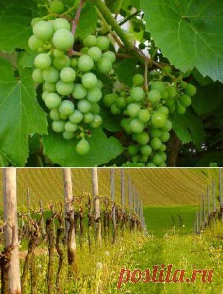 (+1) тема - Весенняя обрезка винограда: подробная инструкция | 6 соток