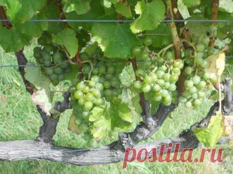 Виноградная лоза должна страдать. Обрезка и формирование. Схемы и фото — Ботаничка.ru