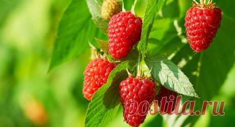 Ремонтантная малина — путь к высокому урожаю К одним из действенных вариантов повышения эффективности садоводства относится использование ремонтантных культур, например, малины.