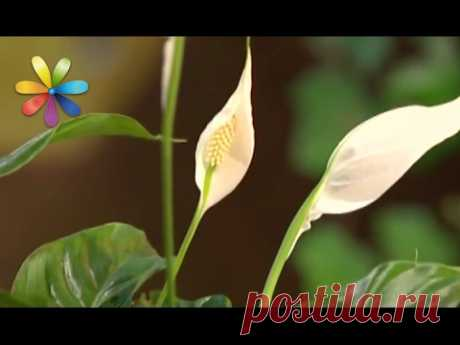 How to look after a spathiphyllum - awaking All to dobra - Release 263 - 02.10.2013 - Everything will be good
